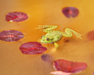 Nature background, frog in the pond