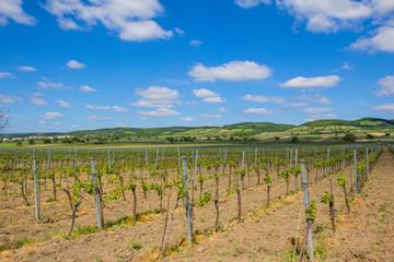 Vineyard In North Burgenland Donnerskirchen Near Lake Neusiedl