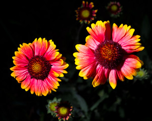 Zinnia flowers on a dark background