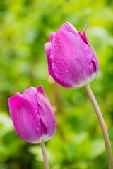 Violet tulips.