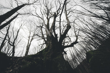 twisted old tree in spooky forest dramatic view