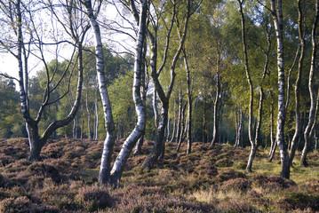 Twisted silver birch trees on Stanton Moor, Derbyshire, UK