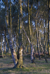 Twisted silver birch trees on Stanton Moor, Derbyshire, UK