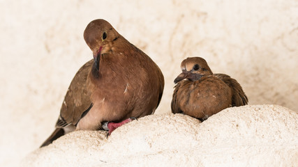 Ground Dove and Chick