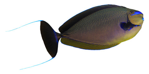 Tropical fish isolated on white: Bignose Unicornfish