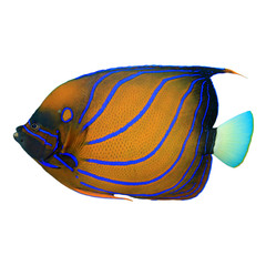 Tropical fish isolated on white: Blue-ringed Angelfish