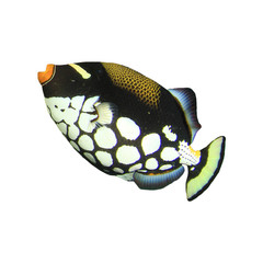 Tropical fish isolated on white: Clown Triggerfish