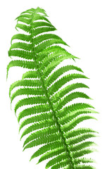 fern leaf isolated on the white background