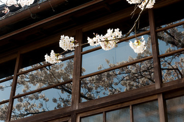 White sakura branch with shadow reflected from windows