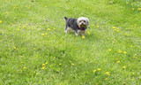 Yorkie on Grass in the Spring - 83251169