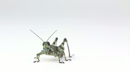 Lichen grasshopper grooms face and weaves.