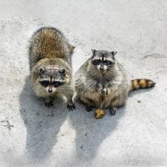 Two raccoons