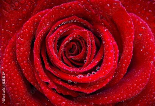 roza-i-krople