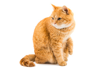 ginger cat isolated