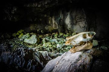 Animal skull in cave