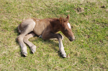 Newborn foal with white spot on the forehead