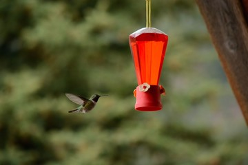 A hummingbird flies towards a feeder