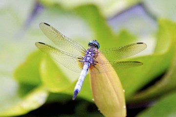 Blue dragonfly standing on a Water Lily
