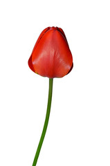 Red tulip flower on a white background