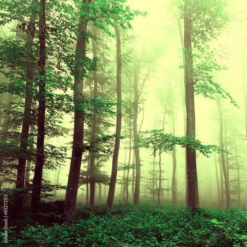 Fantasy yellow green foggy beech tree forest