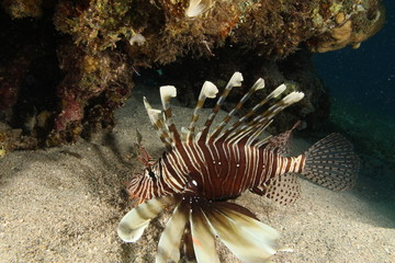 Photo from scuba diving of a lionfish