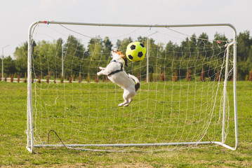 Funny dog playing football as a goalkeeper (profile jump)