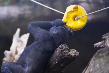 Mono jugando