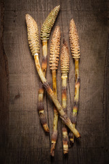 Great horsetail