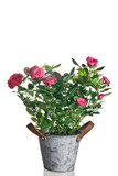 pianta di rose in vaso su sfondo bianco