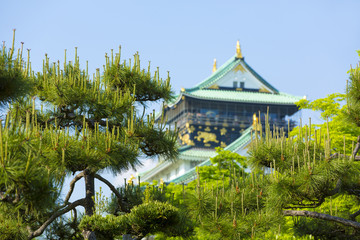 新緑の松と大阪城