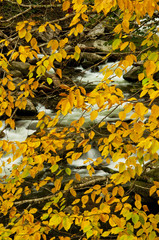 Orange leaves hang over a white water stream.