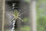Fototapeta Spider in a garden