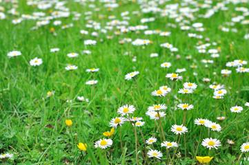 champ de pâquerettes dans herbe verte