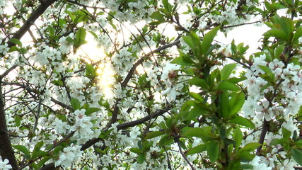 the sun through the flowering tree