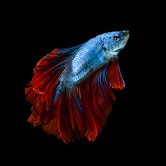 Capture the moving moment of red-blue siamese fighting fish