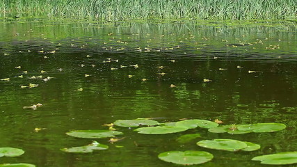 Forest pond with frogs in the spring