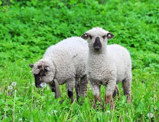 lamb eats dandelions