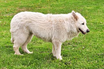 old white Shepherd dog