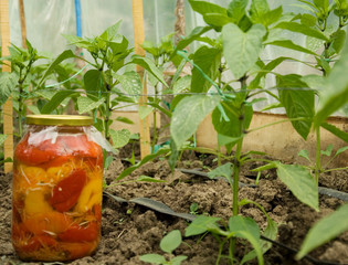 Paprika in the jar and nursery
