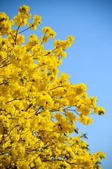 Tabebuia Argentea trees