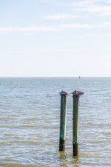 Two Old Pelicans on Wood Posts