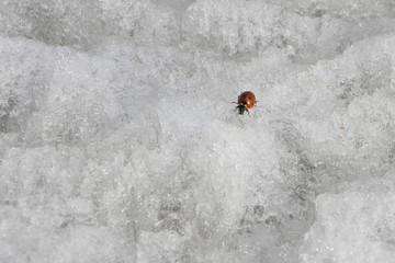 Ladybug on ice in the spring