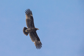 Greater Spotted Eagle flying