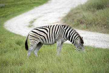 Burchell's Zebra viewed grazing alongside a road in South Africa