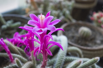 Cactus with beautifull purple flower