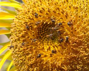 Bees swarm sunflower