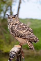 European Eagle Owl on perch