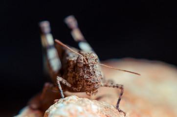 Portrait grasshopper
