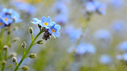 Macro shot of the Forget me not flower in the wind.