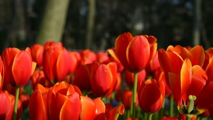 Beautiful Orange Tulips in A Park - Close-up
